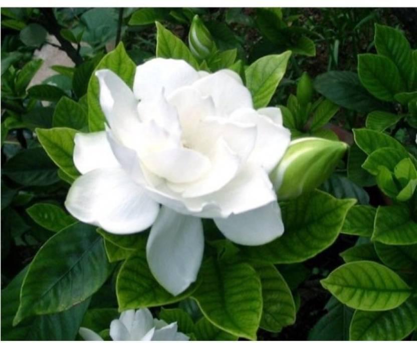 Ojorey Live Jasmine Flower Plantwhite Flowergreen Plant Plant