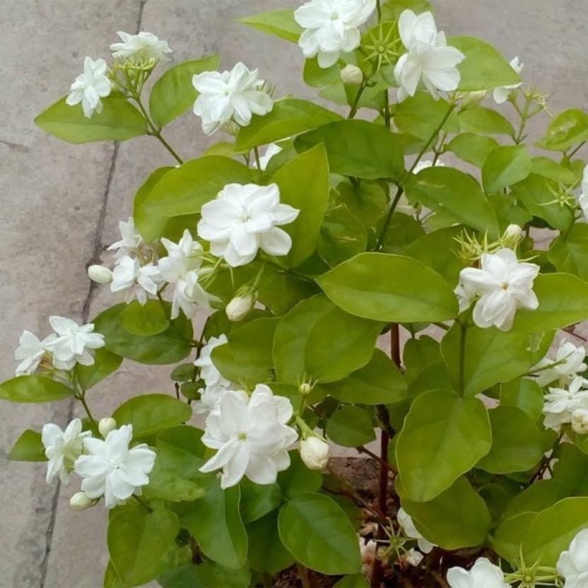 OjOrey Mogra flower PlantJasmine Plant With Pot Plant (Yes Pack of 1 Flower ) & OjOrey Mogra flower PlantJasmine Plant With Pot Plant Price in ...