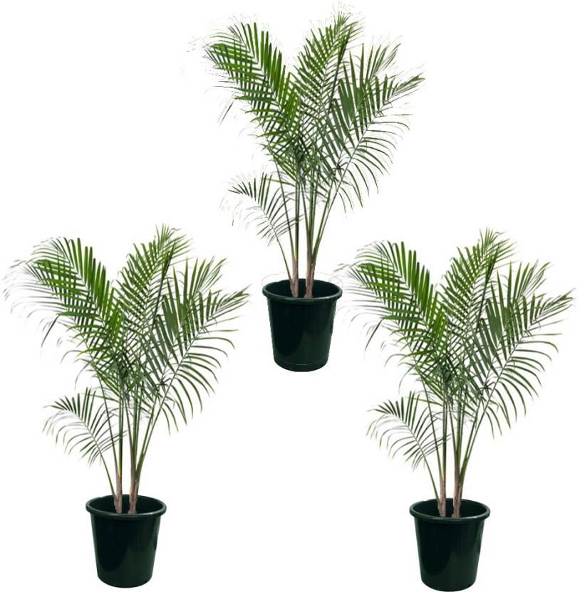 Plantvlant Pack Of 3 Areca Palm Live Plant No Bamboo