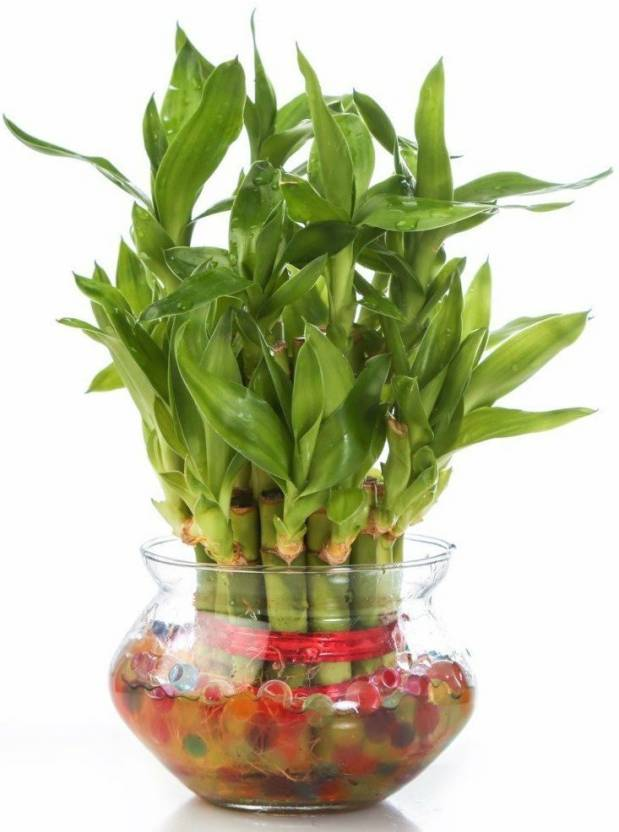 Agami Green 2 Layer Lucky Bamboo Plant With Round Gl Pot And Colored Jelly Seed 1 Per Packet