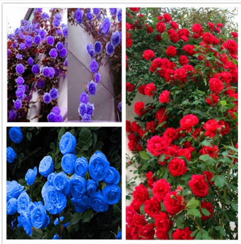 priyathams Imported Beautiful PURPLE/BLUE/RED ROSE PLANT Mix of 18 Seed  (18 per packet)