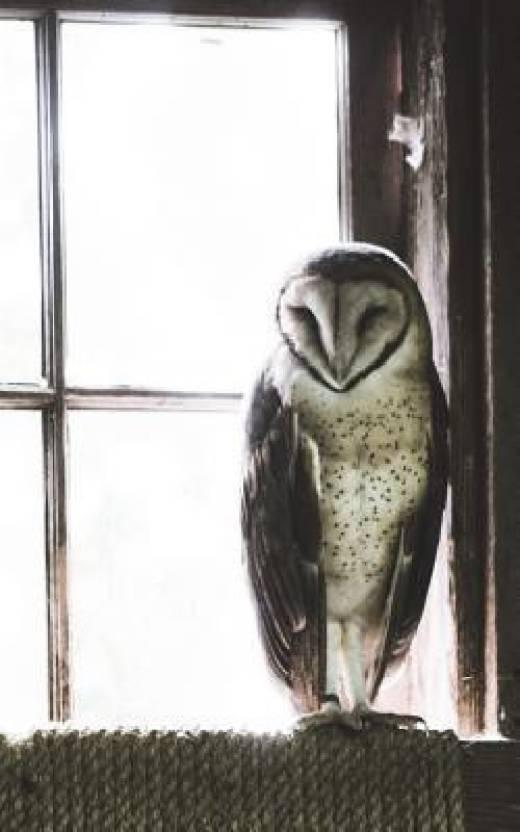 Barn Owl Price In India