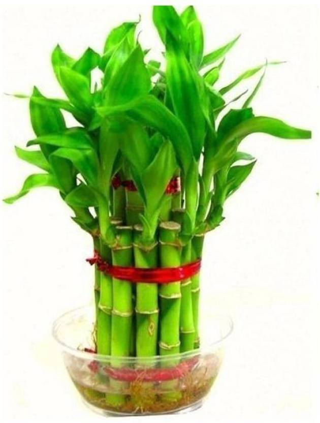 SMZ Brandlines 2 Layer lucky bamboo plant with Glass Pot, Indoor Plant Plant