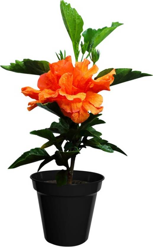 Poudhacom Hibiscus Orange Double Petals Plant Price In India Buy