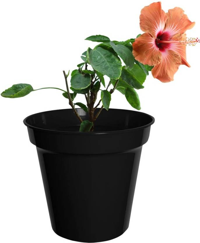 Poudhacom Hibiscus Maroon Live Plant Plant Price In India Buy