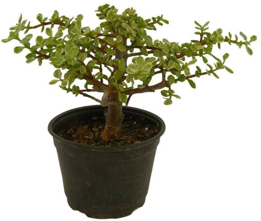 Bhajanlal Greenery Jade Plant Crula