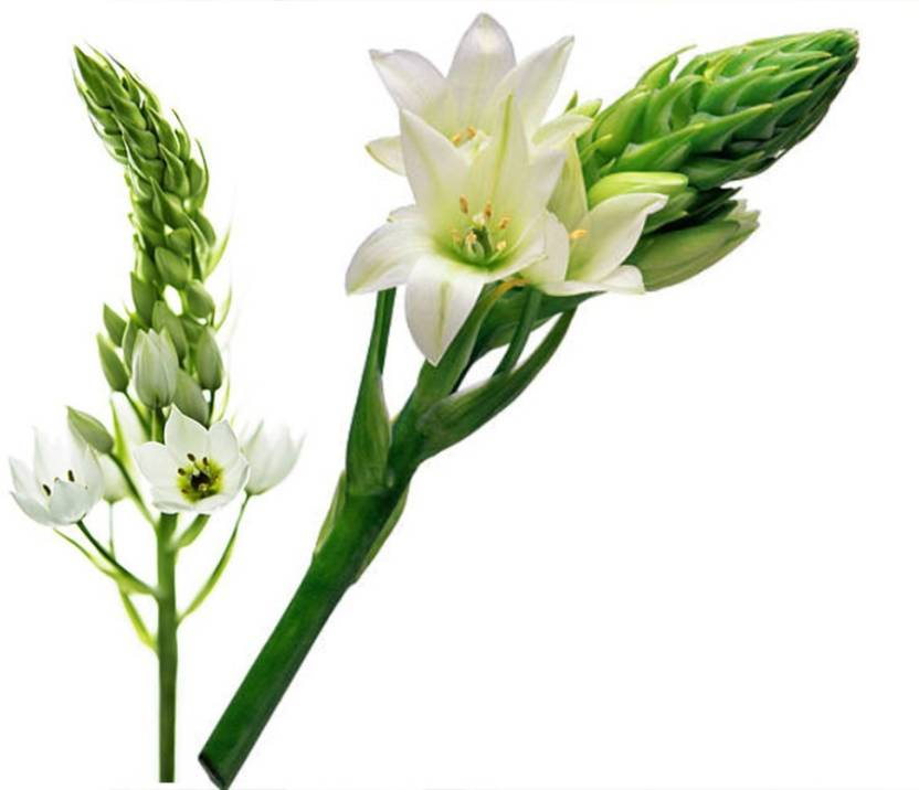 kitchen garden in balcony Sprout Bulbs Ornithogalum Flower Bulbs White Chincherinchee