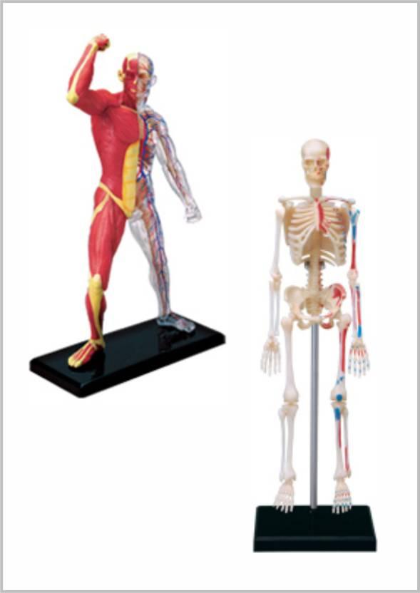 4d Master Human Muscle Skeleton Anatomy Model Price In India Buy