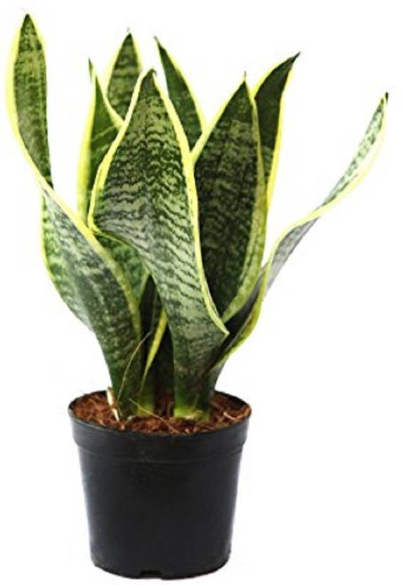 Nelesa Gardening Live Variegated Snake Plant Indoor No Pack Of 1 Flower