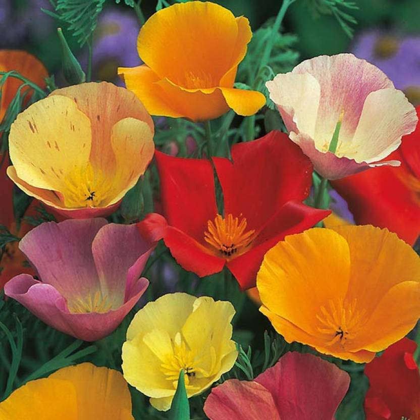 M tech gardens californian poppy flower seed price in india buy m m tech gardens californian poppy flower seed mightylinksfo