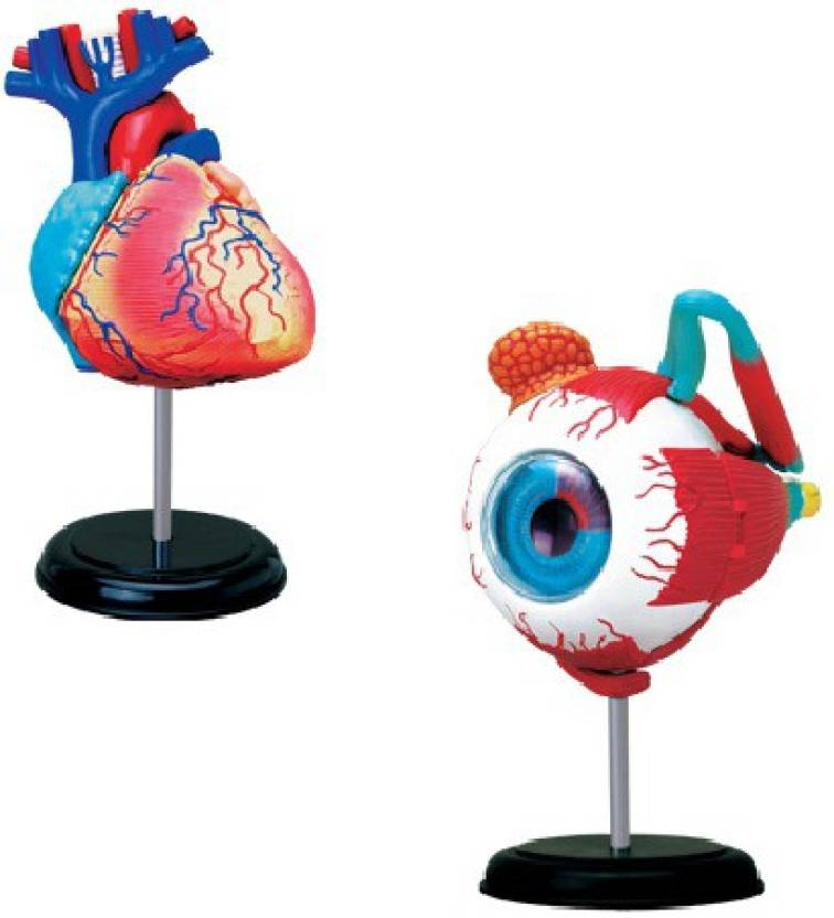4D Master Human Heart and Eye Ball Anatomy Models Price in