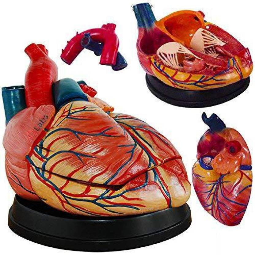 mLabs Middle Heart Model (PVC Plastic) Anatomical Body Model Price