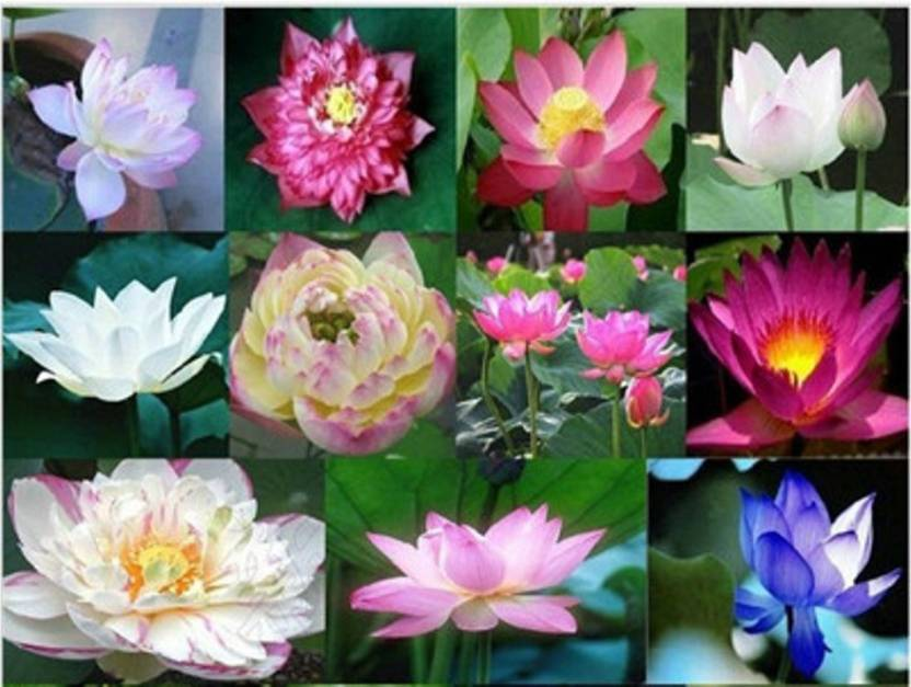 Greenly Imported Beautiful 11 Types Of Lotus Plant Seed Price In