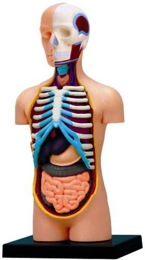 Fame Master 4D Vision Human Anatomy Torso Model Price in India - Buy ...