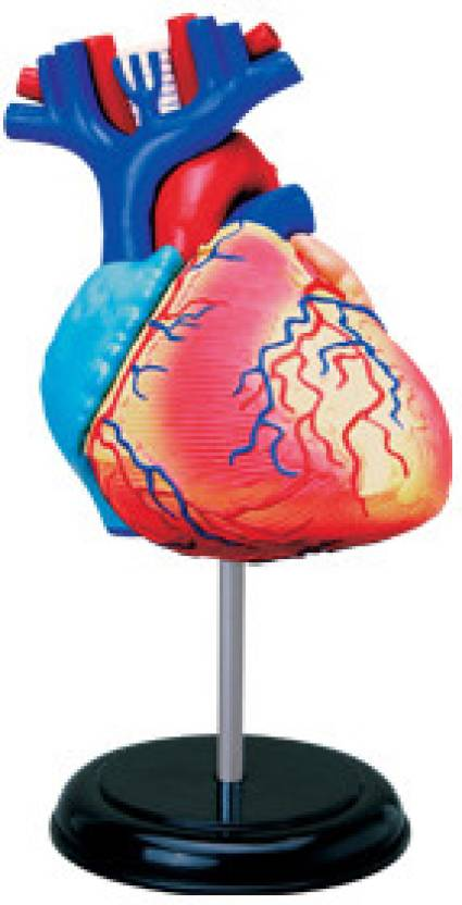 4D Master Human Heart Anatomy Model Price in India - Buy 4D Master ...