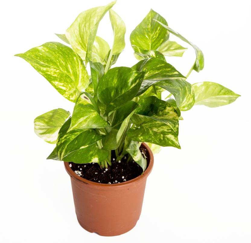 Nurturing Green Indoor Money Plant Hybrid