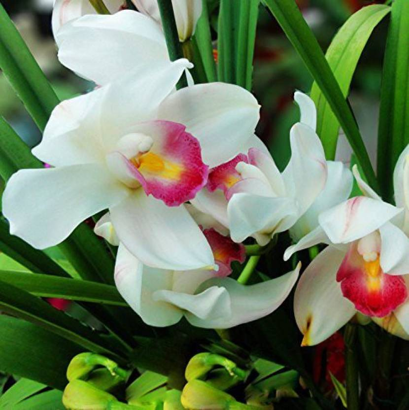 Futaba pink white cymbidium orchid flower seed price in india buy futaba pink white cymbidium orchid flower seed mightylinksfo