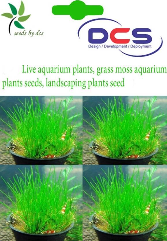 DCS Aquarium plants Seed Price in India - Buy DCS Aquarium plants