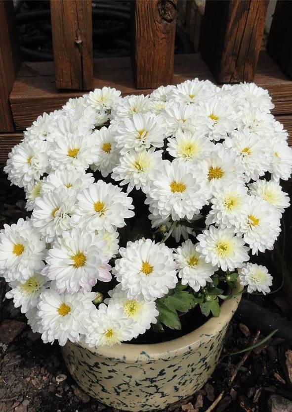 Real Seed Chrysanthemum F1 Hybrid Flower Seeds Seed (30 Per Packet)