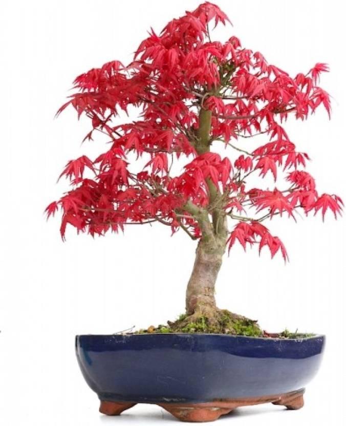 20 Bonsai Blue Maple Tree Seeds Bonsai Tree