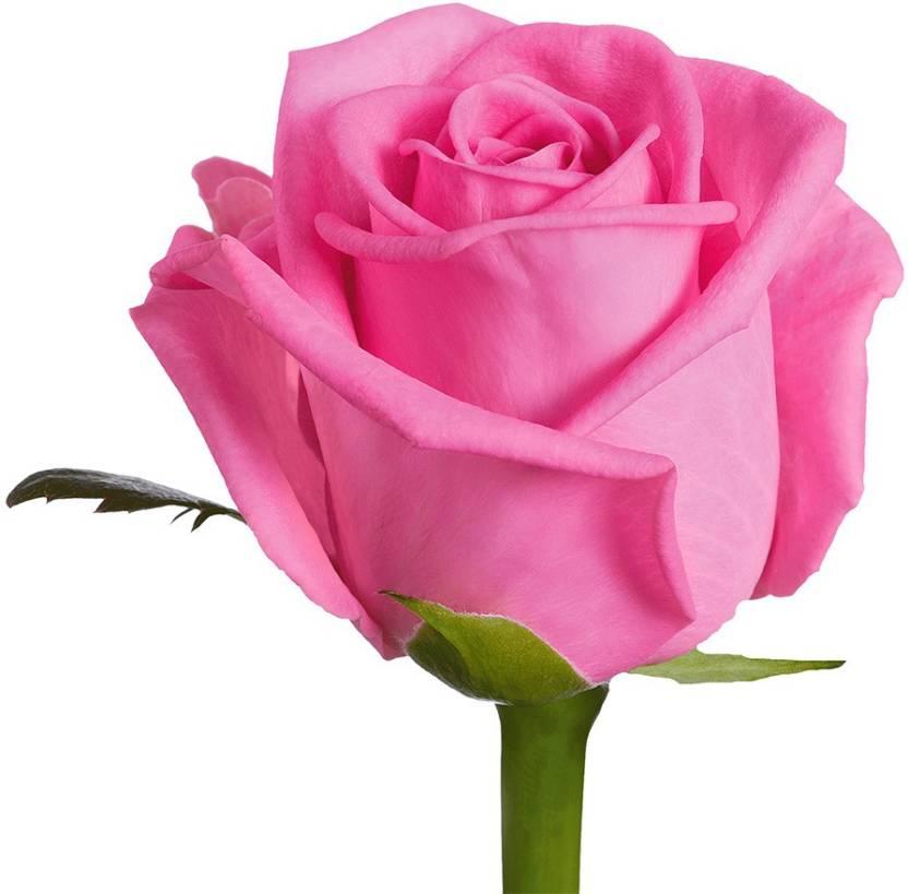 Nskon Beautiful PINK Rose Plant Seed (15 per packet)