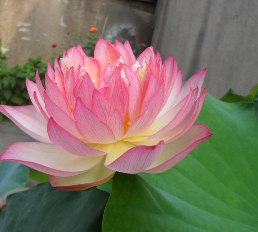 Futaba Light Pink Bowl Lotus Seeds Seed Price In India Buy Futaba