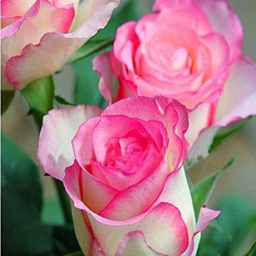 adidas originals pastel rose garden