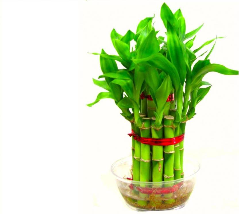 green plant indoor 2 layer lucky bamboo plants seed price in india