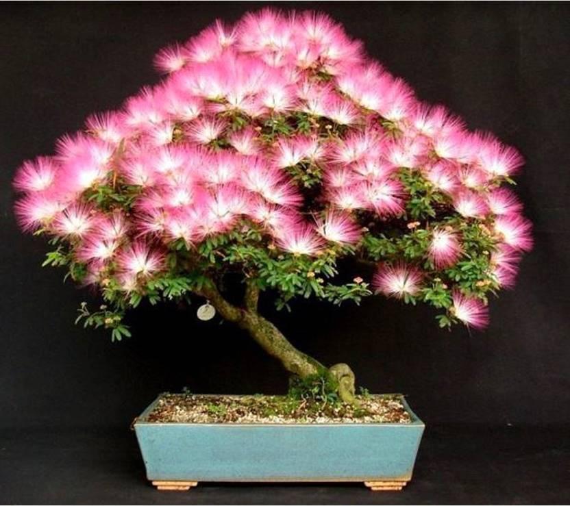 Rainbow Spring Seeds Mimosa Silk Tree Albizia Bonsai Flower