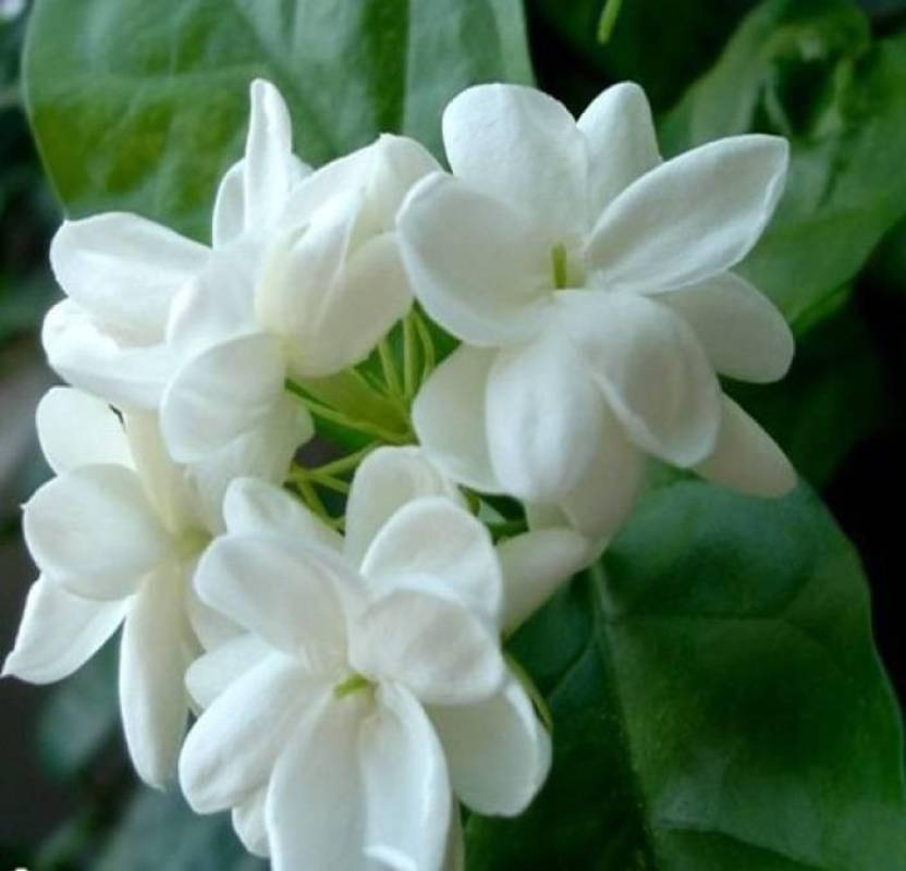 priyathams jasmine flower seed imported plant seed price in india