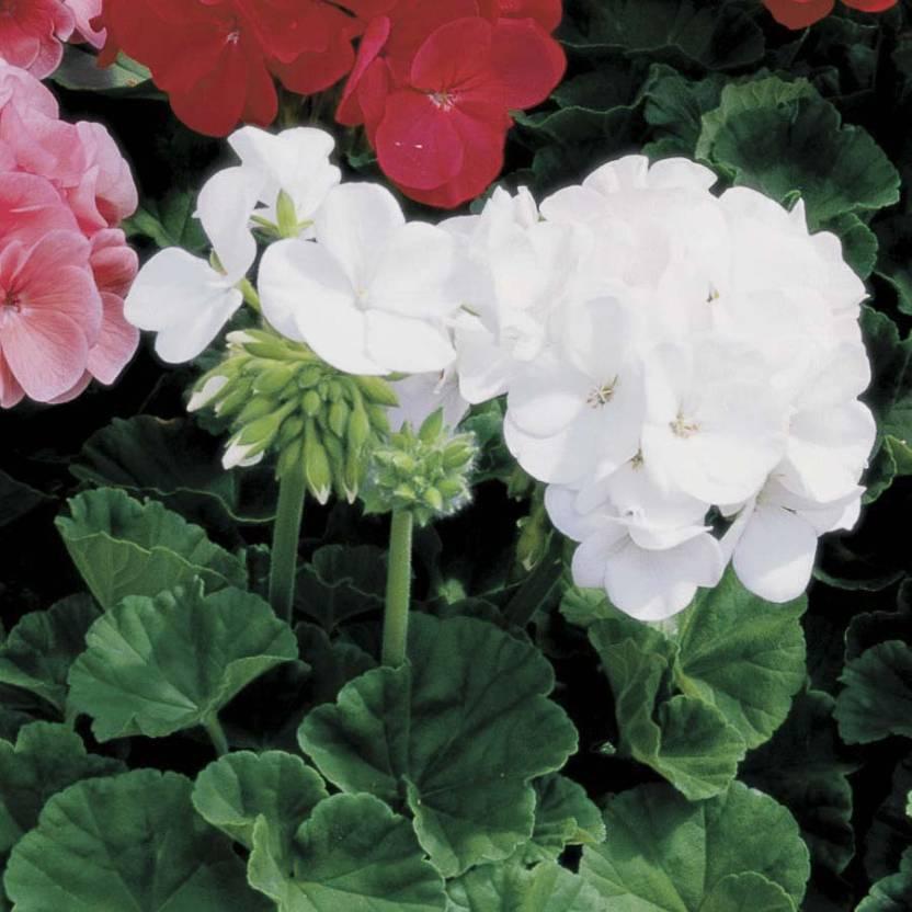 7ee26ddcd Biocarve Pelargonium-Geranium Seed Price in India - Buy Biocarve ...