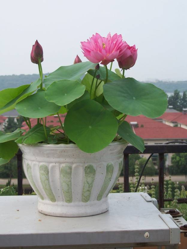 Airex lotus seed price in india buy airex lotus seed online at airex lotus seed mightylinksfo