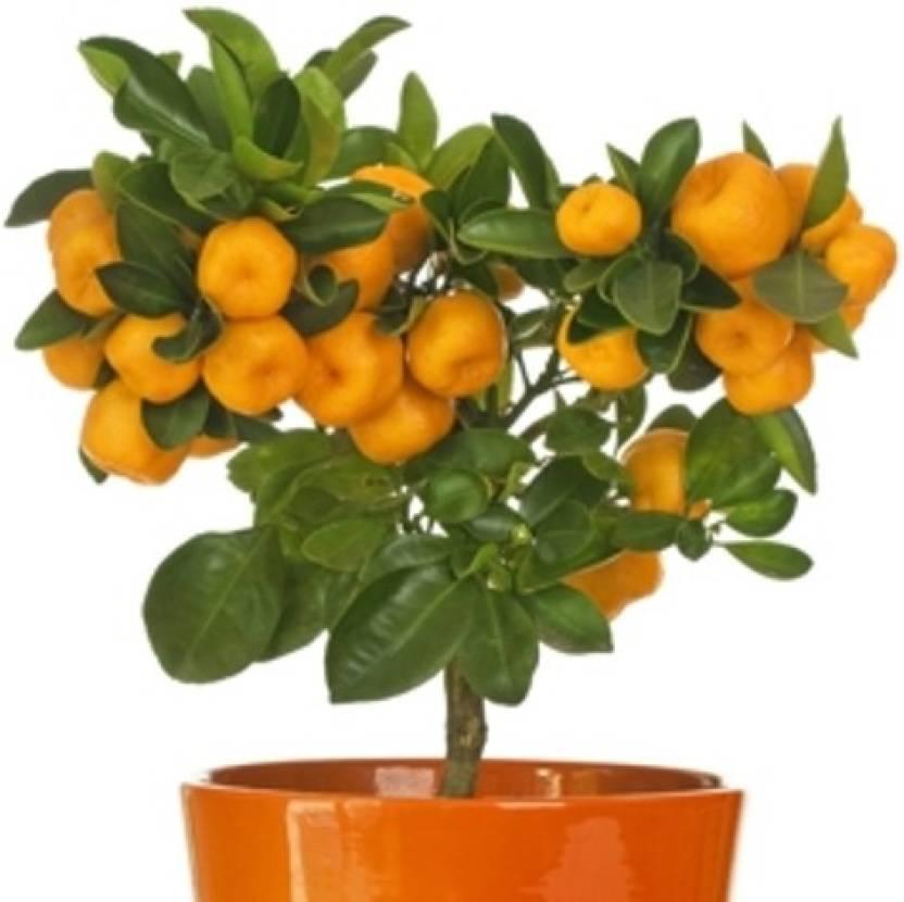 Priyathams Citrus Seed Price In India