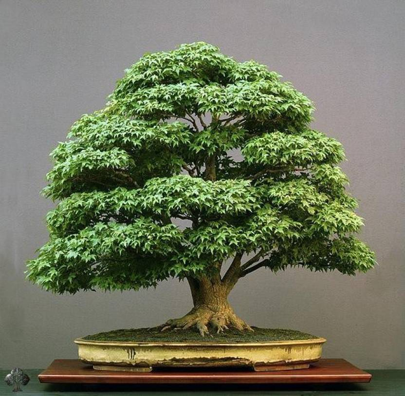 National Gardens Japanese Green Maple Seed