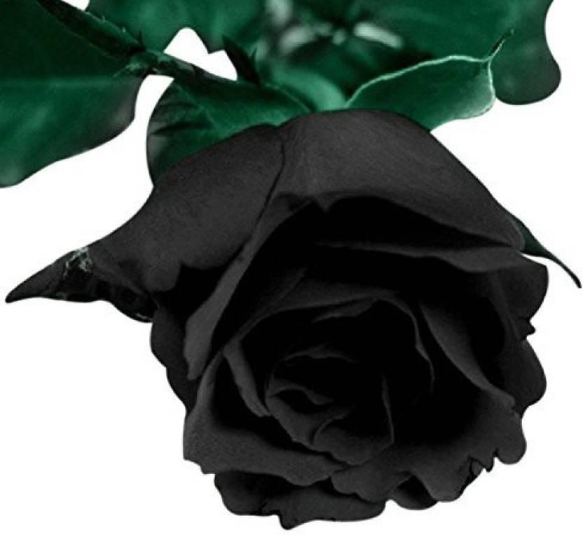 Futaba blood black rose flower seed price in india buy futaba futaba blood black rose flower seed mightylinksfo