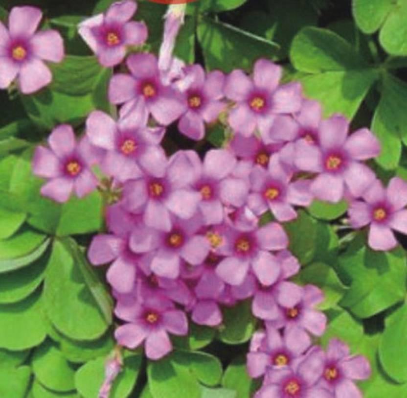 Futaba Campanula Clover Small Bonsai Seed Price In India Buy