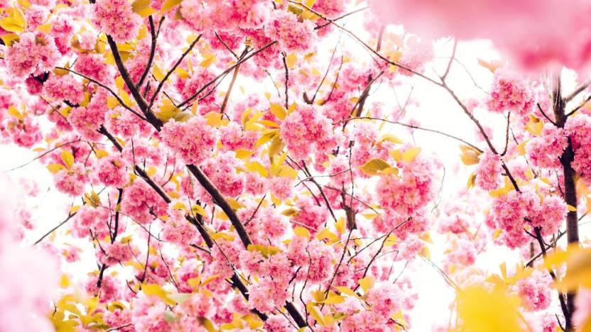 Cherry Flowers 4k 5k On Fine Art Paper Hd Quality Wallpaper